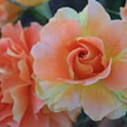 Sherbert Rose Art Print