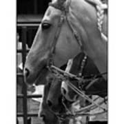 Show Horses Art Print
