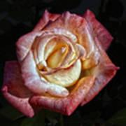 Show Me A Rose Art Print