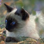 Siamese Cat Hiding Art Print