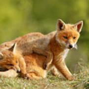 Sibbling Love - Playing Fox Cubs Art Print