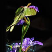 Siberian Iris And Luna Moth Art Print