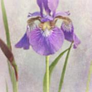 Siberian Iris Art Print