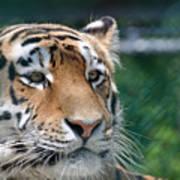 Siberian Tiger 2 Art Print
