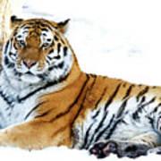 Siberian Tiger Amur Tiger Art Print