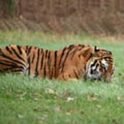 Siberian Tiger Checking Scent Art Print