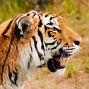Siberian Tiger In Profile Art Print