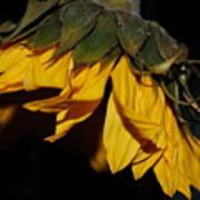 Sideview Sunflower Art Print
