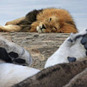 Siesta Time For Lions In Africa Art Print