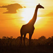 Silhouette Giraffe At Sunset Art Print by Joost Notten