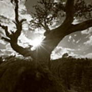 Silhouette Of A Gnarled Tree - Sepia Art Print