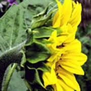Silhouette Of A Sunflower Art Print