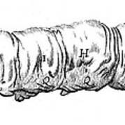 Silkworm, Malpighi, 1686 Art Print