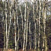 Silver Birch Trees Art Print