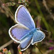 Silver-studded Blue Butterfly Art Print