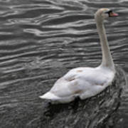 Silver Swan Art Print