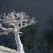 Silver Tree Glacier Park Montana Art Print