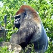 Silverback Gorilla Art Print