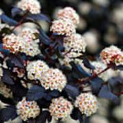 Summer Wine Ninebark Blossom Art Print