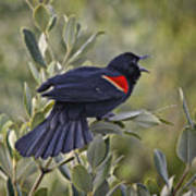 Sing Me A Song, Red-winged Blackbird Art Print