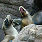 Singing Sea Lions Art Print