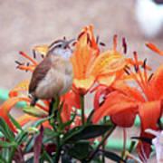 Singing Wren In The Lilies Art Print
