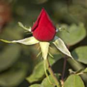Single Bright Red Rose Bud Art Print