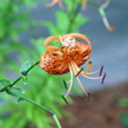 Single Orange And Black Tiger Lily Art Print