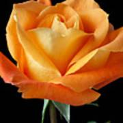 Single Orange Rose Art Print