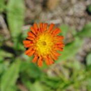 Single Orange Wild Flower Art Print