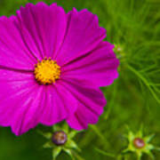 Single Purple Cosmos Flower Art Print