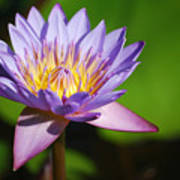 Single Purple Water Lily Number One Art Print