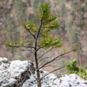 Single Snowy Pine Art Print
