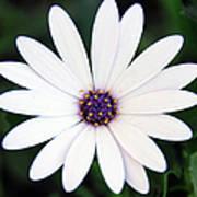 Single White Daisy Macro Art Print
