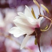 Single White Magnolia Art Print