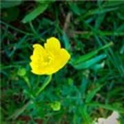Single Yellow Buttercup Art Print