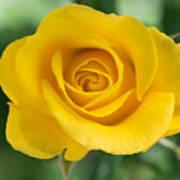 Single Yellow Rose Art Print