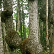 Sitka Spruce Burls On The Olympic Coast Olympic National Park Wa Art Print by Christine Till