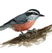 Sitta Canadensis Art Print