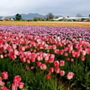 Skagit Valley Tulip Festival Art Print