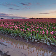 Skagit Valley Tulip Reflections Art Print