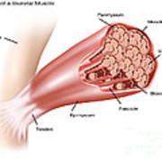 Skeletal Muscle Structure Art Print
