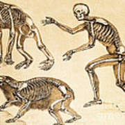 Skeletons Of Man, Ape, Bear, 1860 Art Print