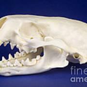 Skull Of A River Otter Art Print