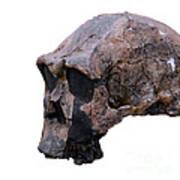 Skull Of Homo Erectus Art Print