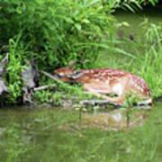 Sleep Fawn White Tailed Deer Art Print