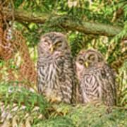 Sleeping Barred Owlets Art Print