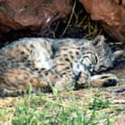Sleeping Bobcat Art Print