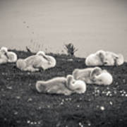 Sleeping Cygnets Art Print