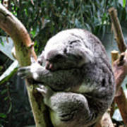 Sleeping Koala Art Print